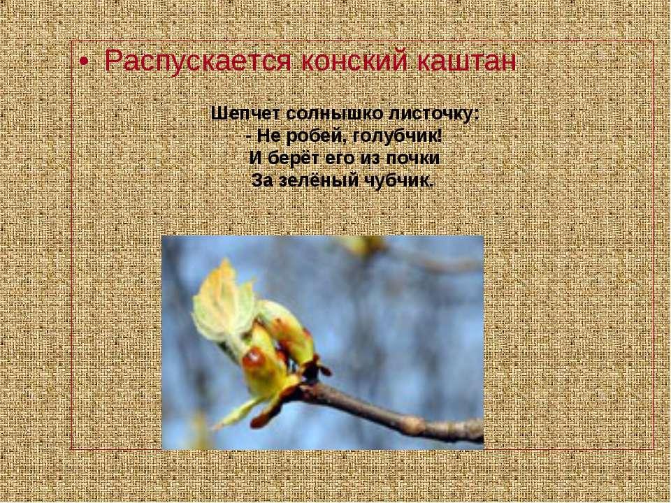 Распускается конский каштан Шепчет солнышко листочку: - Не робей, голубчик! И...