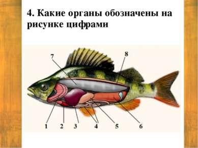 4. Какие органы обозначены на рисунке цифрами