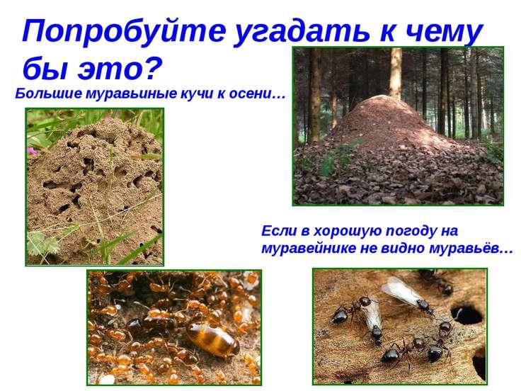 Попробуйте угадать к чему бы это? Большие муравьиные кучи к осени… Если в хор...