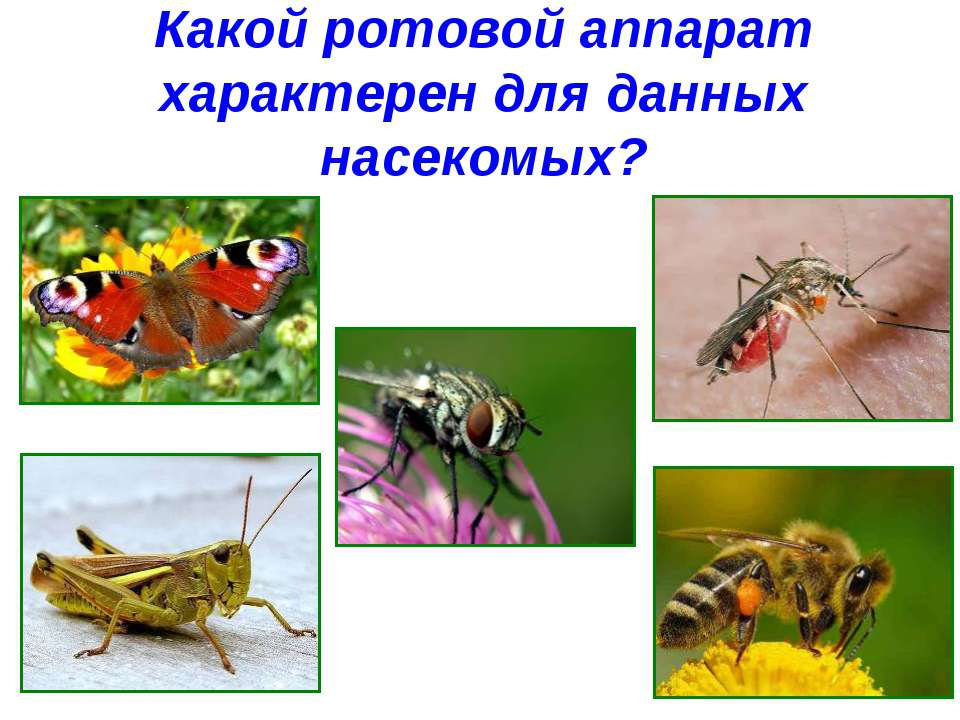 Какой ротовой аппарат характерен для данных насекомых?