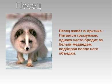 Песец живёт в Арктике. Питается грызунами, однако часто бродит за белым медве...