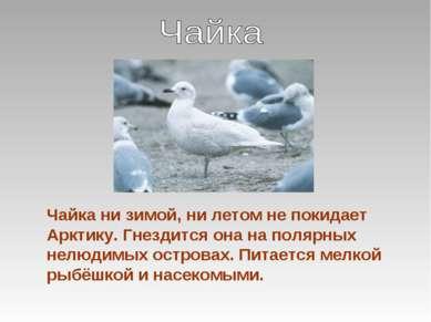 Чайка ни зимой, ни летом не покидает Арктику. Гнездится она на полярных нелюд...