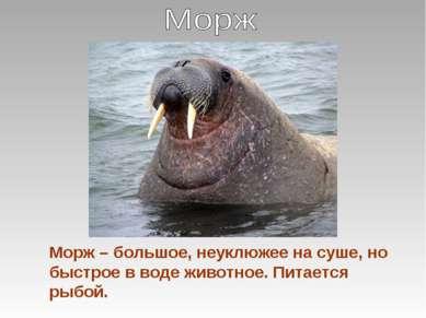 Морж – большое, неуклюжее на суше, но быстрое в воде животное. Питается рыбой.