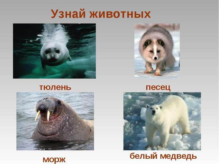 Узнай животных тюлень морж песец белый медведь