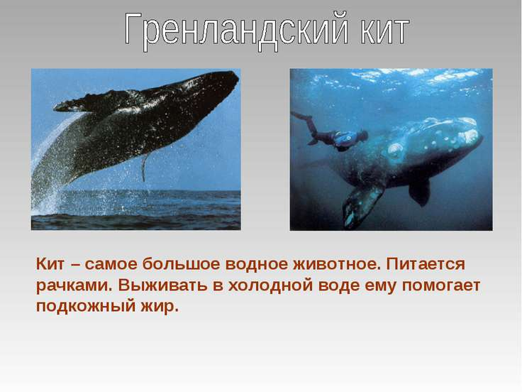 Кит – самое большое водное животное. Питается рачками. Выживать в холодной во...