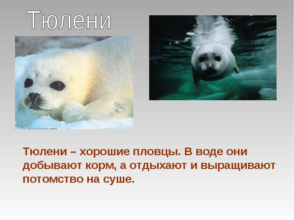 Тюлени – хорошие пловцы. В воде они добывают корм, а отдыхают и выращивают по...