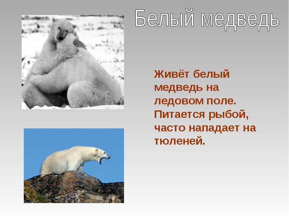 Живёт белый медведь на ледовом поле. Питается рыбой, часто нападает на тюленей.