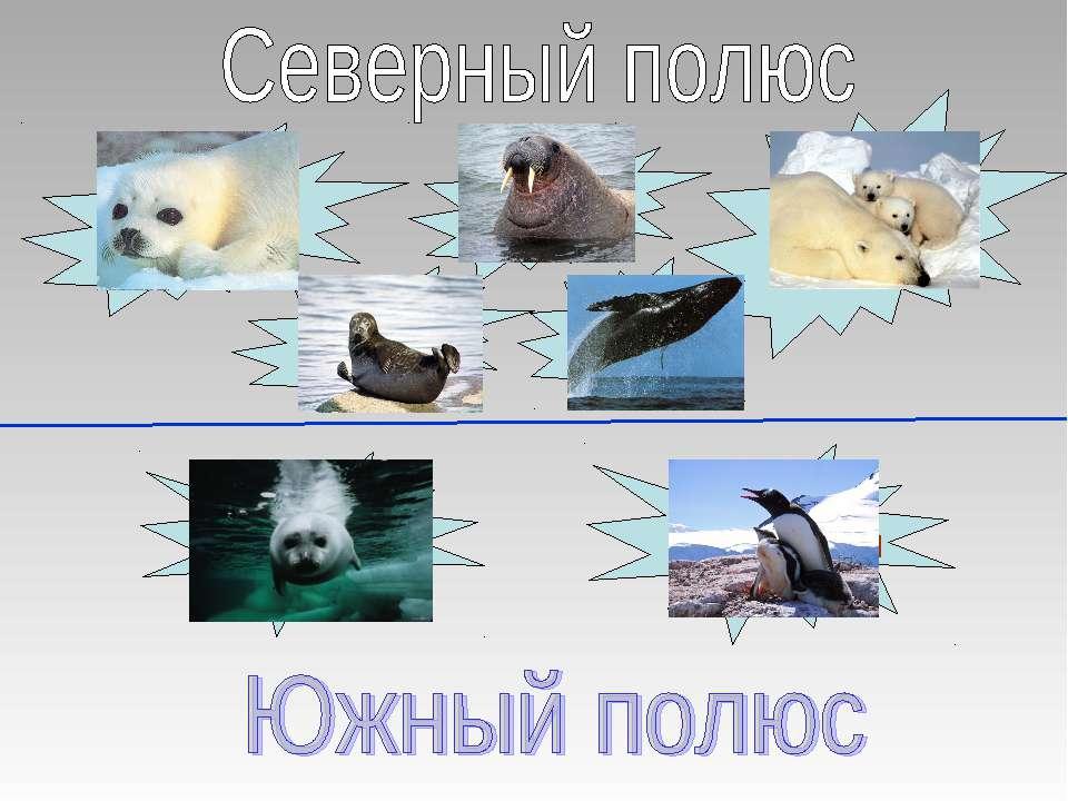 тюлени моржи белые медведи нерпы киты тюлени пингвины