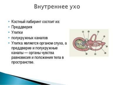 Костный лабиринт состоит из: Преддверия Улитки полукружных каналов Улитка явл...