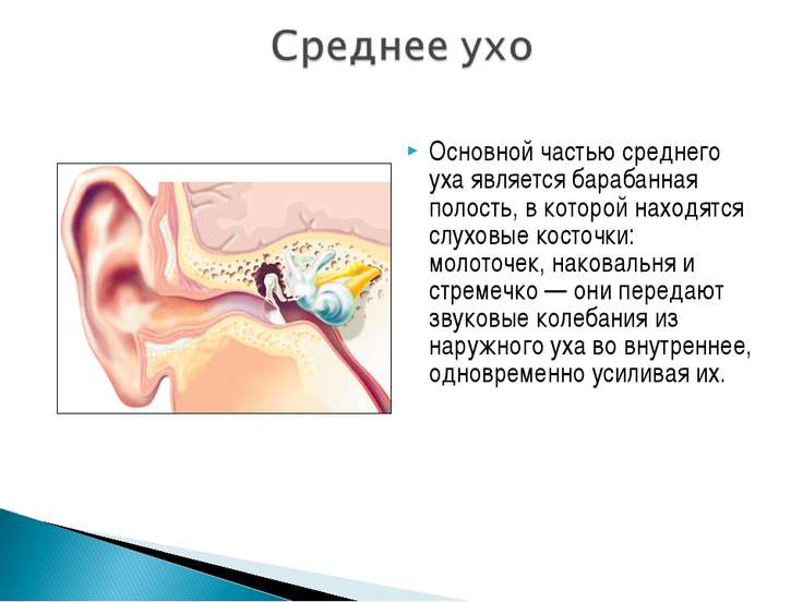Основной частью среднего уха является барабанная полость, в которой находятся...