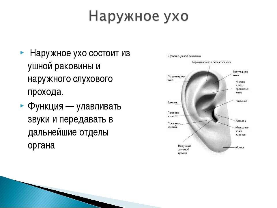 Наружное ухо состоит из ушной раковины и наружного слухового прохода. Функция...