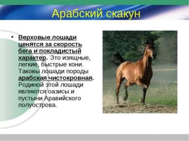 Арабский скакун Верховые лошади ценятся за скорость бега и покладистый характ...