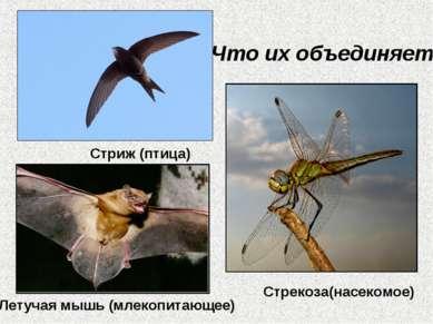 Что их объединяет? Стриж (птица) Стрекоза(насекомое) Летучая мышь (млекопитаю...