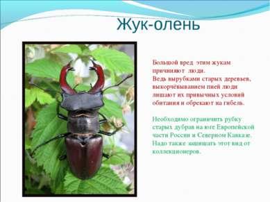 Жук-олень Большой вред этим жукам причиняют люди. Ведь вырубками старых дерев...