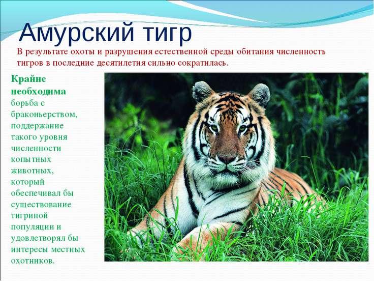 Амурский тигр В результате охоты и разрушения естественной среды обитания чис...