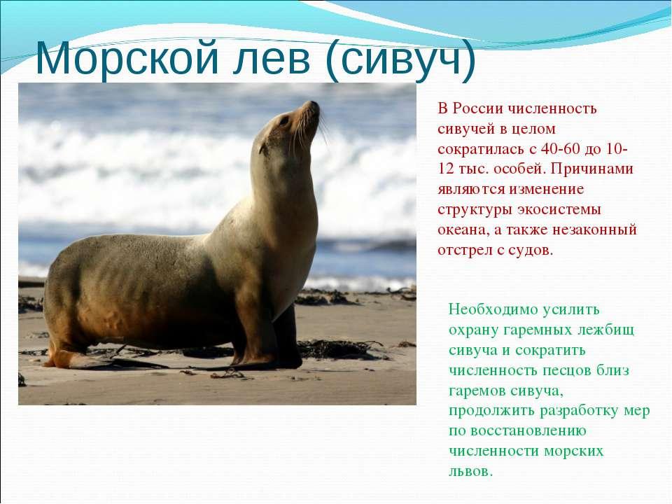 Морской лев (сивуч) В России численность сивучей в целом сократилась с 40-60 ...