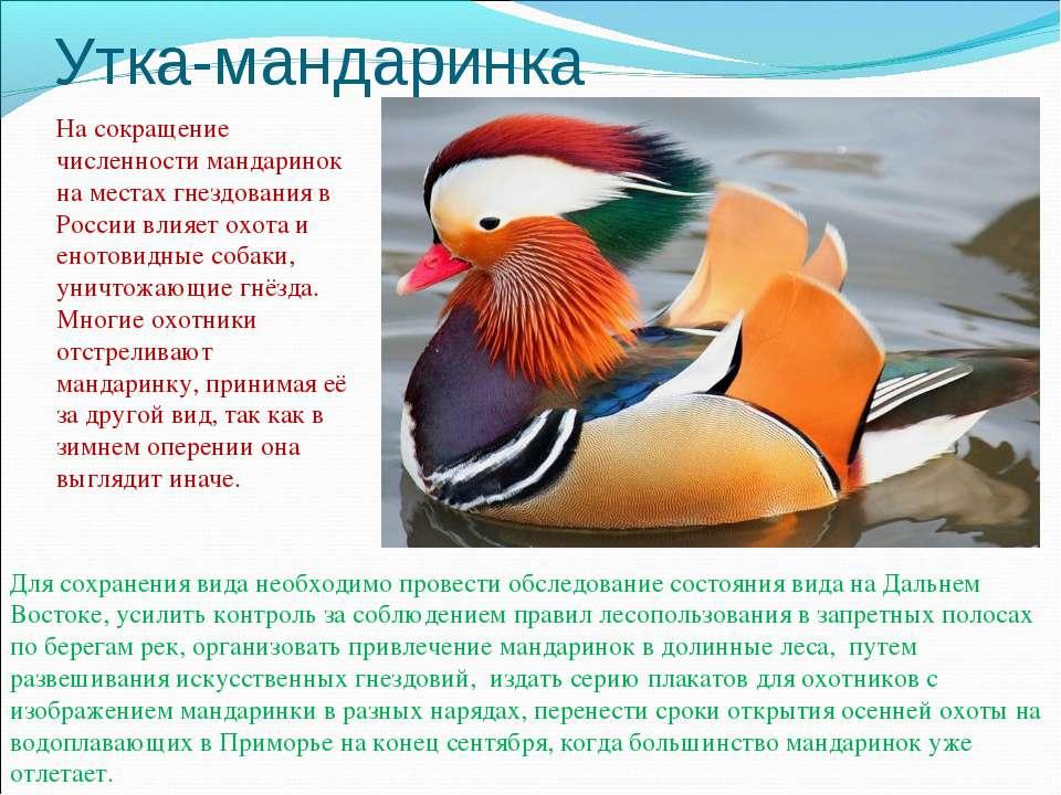 Утка-мандаринка На сокращение численности мандаринок на местах гнездования в ...