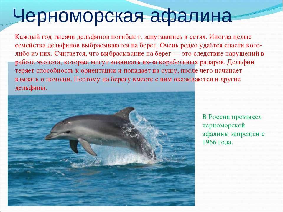 Черноморская афалина Каждый год тысячи дельфинов погибают, запутавшись в сетя...