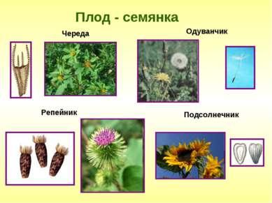 Плод - семянка Одуванчик Подсолнечник Череда Репейник