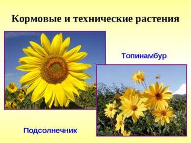 Кормовые и технические растения Топинамбур Подсолнечник