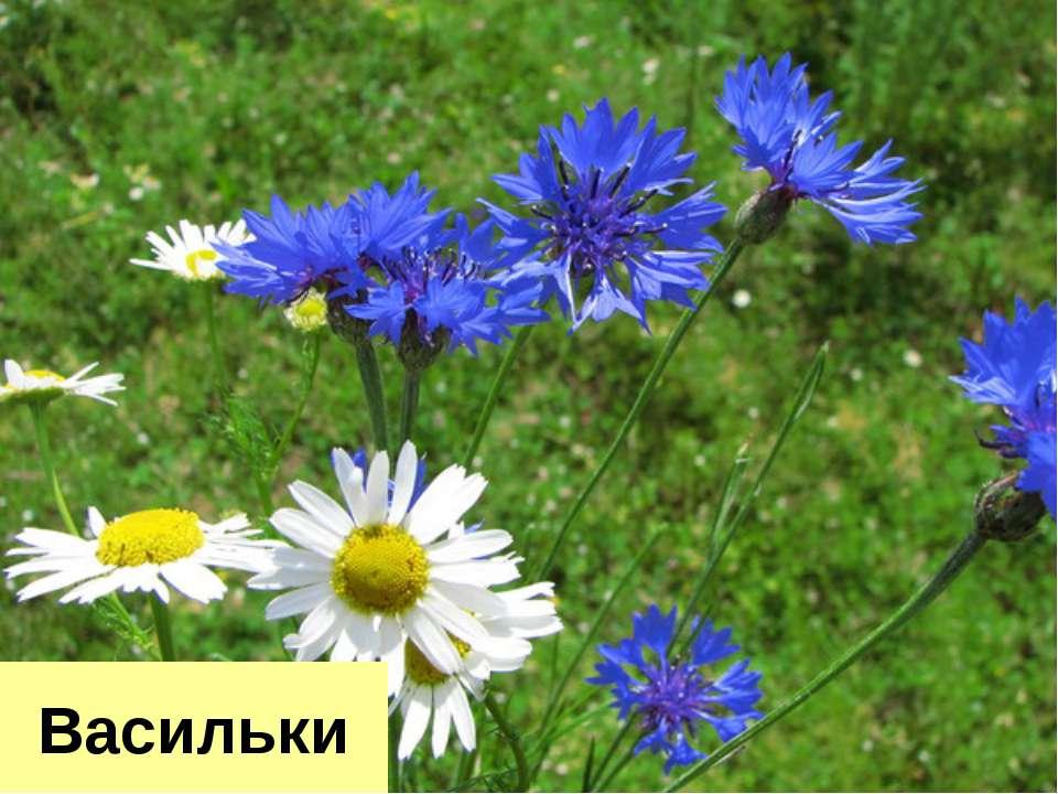 Васильки