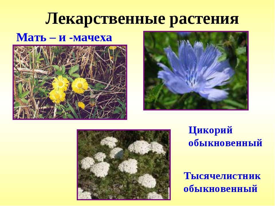 Лекарственные растения Мать – и -мачеха Цикорий обыкновенный Тысячелистник об...