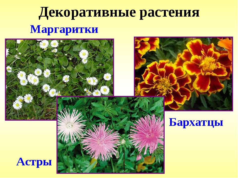 Декоративные растения Маргаритки Астры Бархатцы