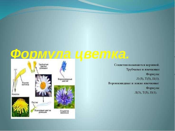 Формула цветка. Соцветия называются корзиной. Трубчатые и язычковые Формула: ...