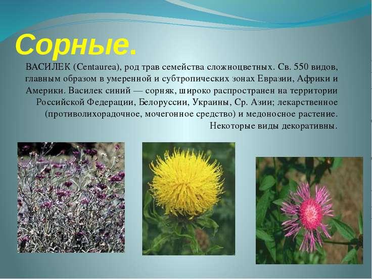 Сорные. ВАСИЛЕК (Centaurea), род трав семейства сложноцветных. Св. 550 видов,...