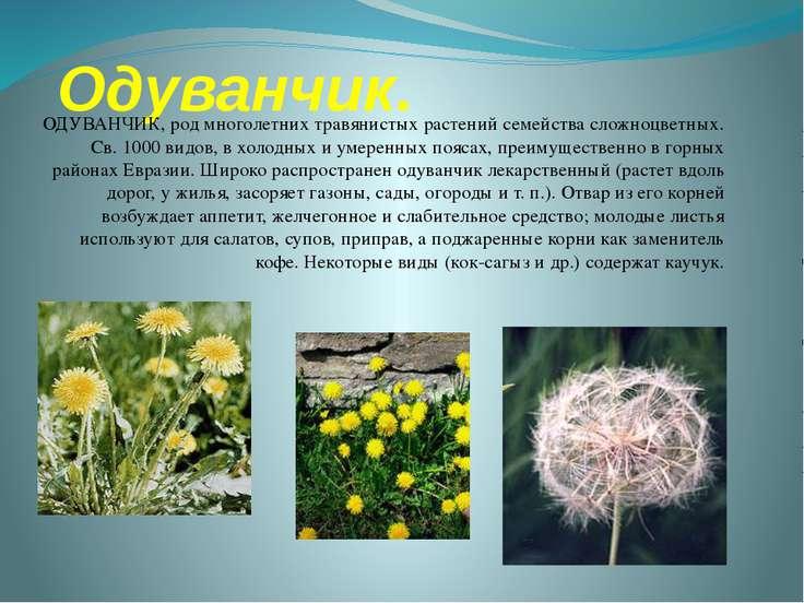 Одуванчик. ОДУВАНЧИК, род многолетних травянистых растений семейства сложноцв...