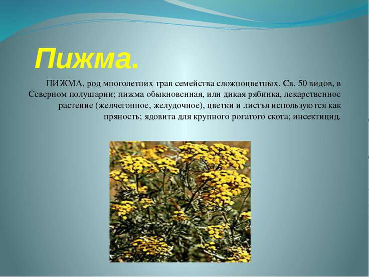 Пижма. ПИЖМА, род многолетних трав семейства сложноцветных. Св. 50 видов, в С...