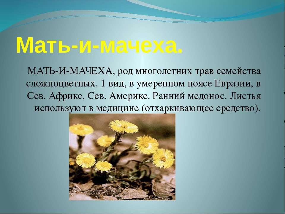 Мать-и-мачеха. МАТЬ-И-МАЧЕХА, род многолетних трав семейства сложноцветных. 1...