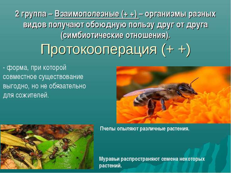 2 группа – Взаимополезные (+ +) – организмы разных видов получают обоюдную по...