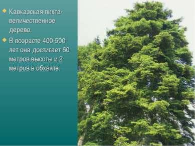 Кавказская пихта- величественное дерево. В возрасте 400-500 лет она достигает...