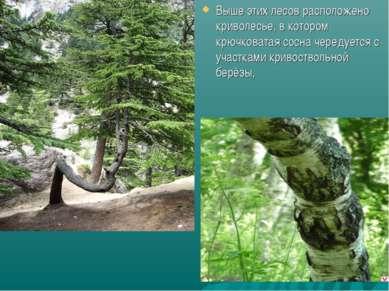 Выше этих лесов расположено криволесье, в котором крючковатая сосна чередуетс...