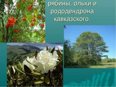 рябины, ольхи и рододендрона кавказского.