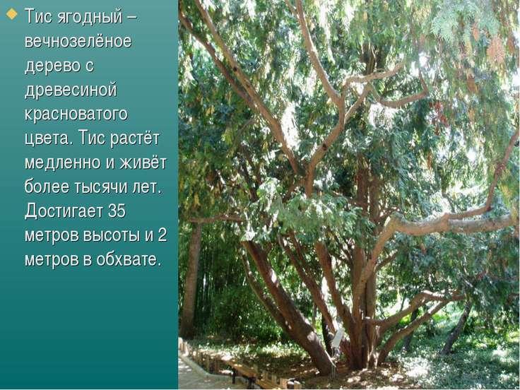 Тис ягодный – вечнозелёное дерево с древесиной красноватого цвета. Тис растёт...