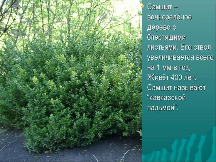 Самшит – вечнозелёное дерево с блестящими листьями. Его ствол увеличивается в...
