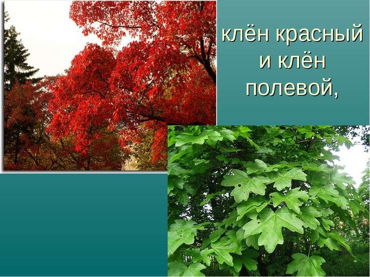 клён красный и клён полевой,