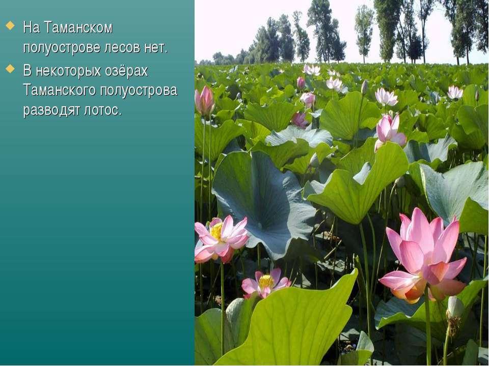 На Таманском полуострове лесов нет. В некоторых озёрах Таманского полуострова...