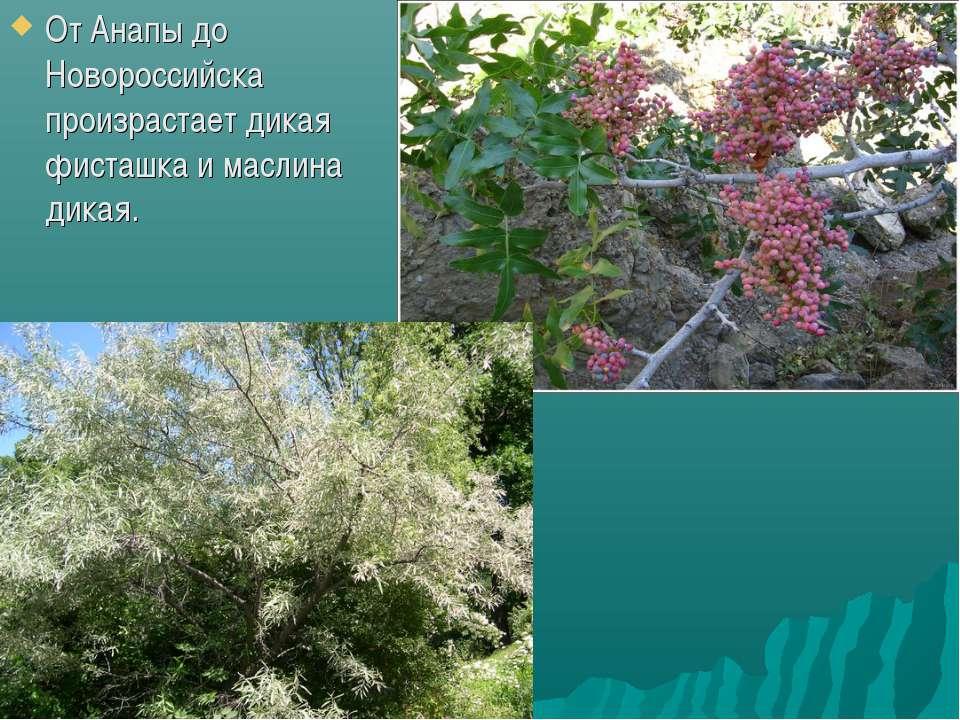 От Анапы до Новороссийска произрастает дикая фисташка и маслина дикая.