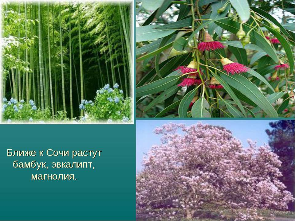Ближе к Сочи растут бамбук, эвкалипт, магнолия.