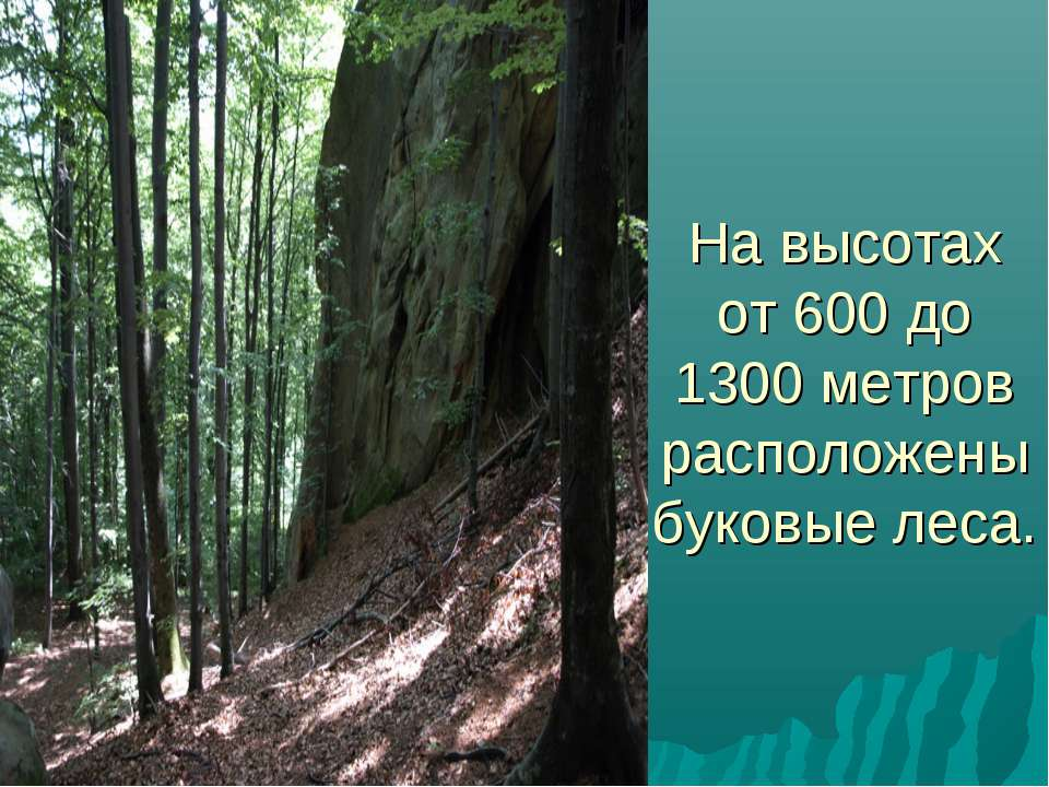 На высотах от 600 до 1300 метров расположены буковые леса.