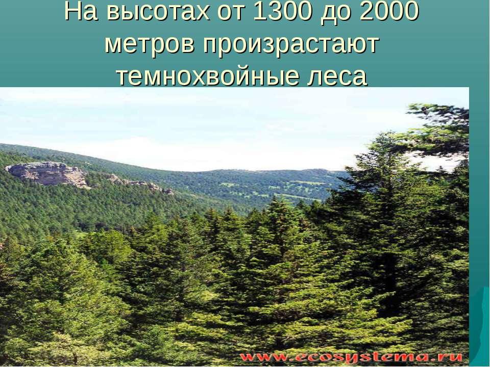На высотах от 1300 до 2000 метров произрастают темнохвойные леса