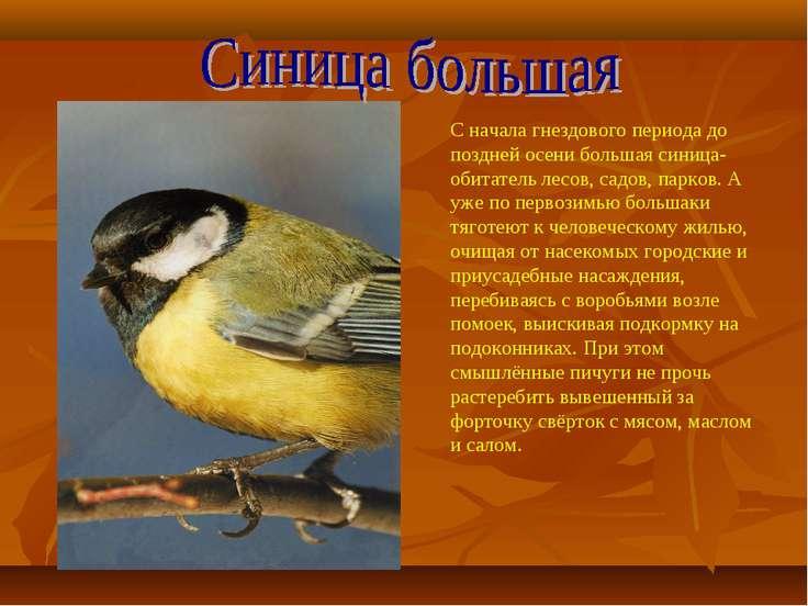 С начала гнездового периода до поздней осени большая синица- обитатель лесов,...