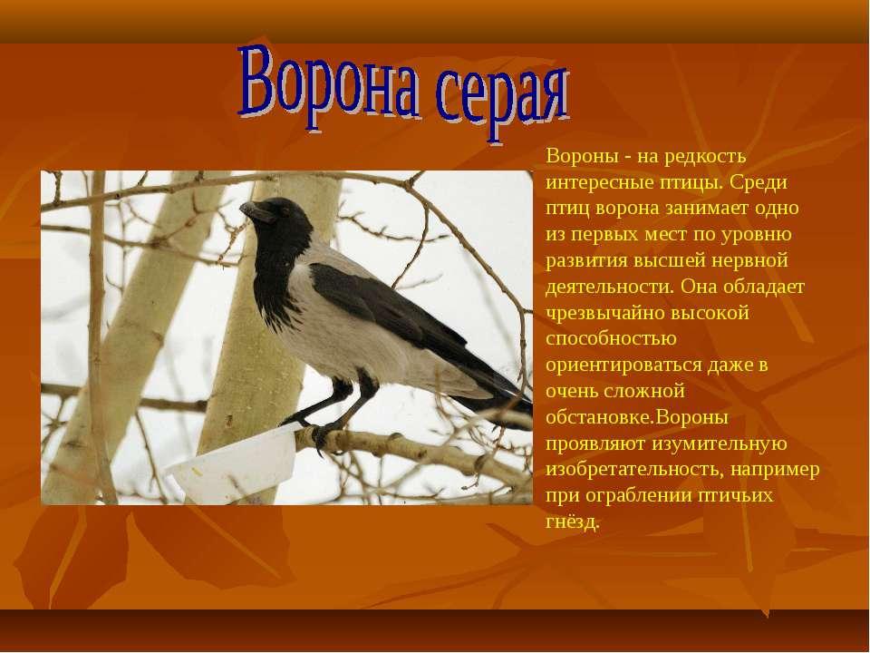 Вороны - на редкость интересные птицы. Среди птиц ворона занимает одно из пер...