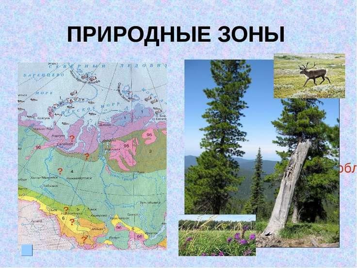 ПРИРОДНЫЕ ЗОНЫ III место по запасам древесины (ель, кедр, пихта) Лесные ресур...