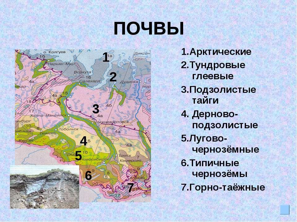 ПОЧВЫ 1.Арктические 2.Тундровые глеевые 3.Подзолистые тайги 4. Дерново-подзол...
