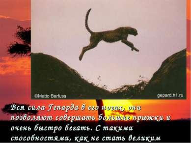 Вся сила Гепарда в его ногах, они позволяют совершать большие прыжки и очень ...
