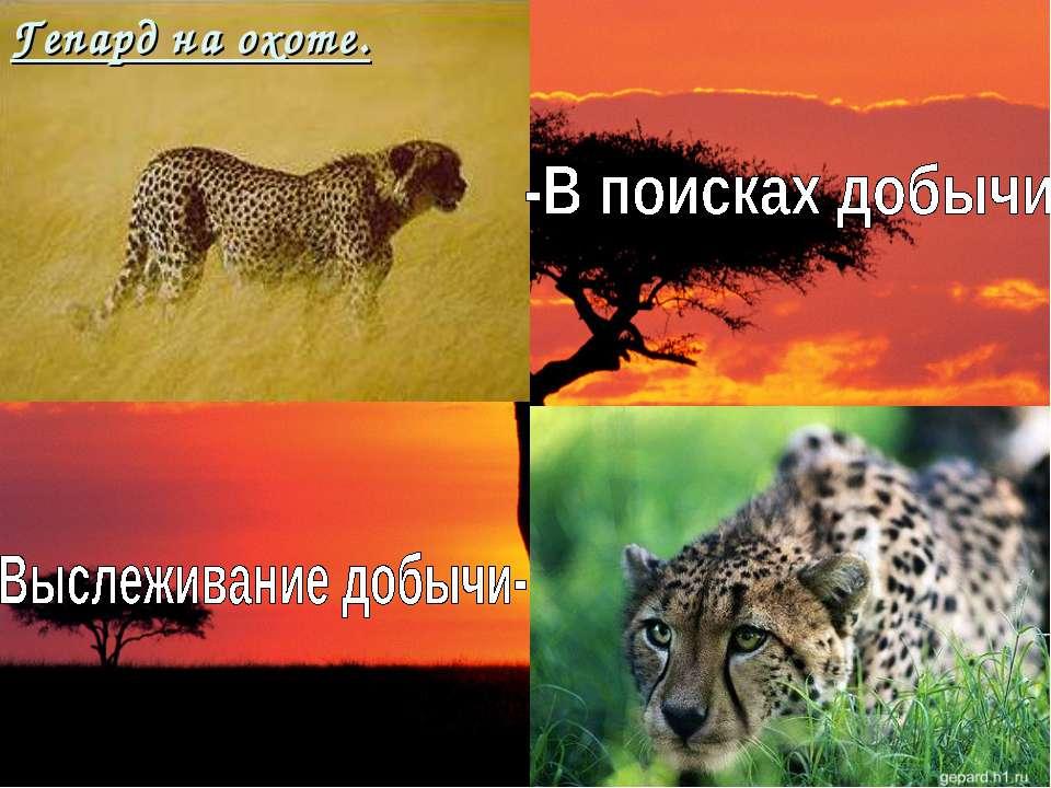 Гепард на охоте.